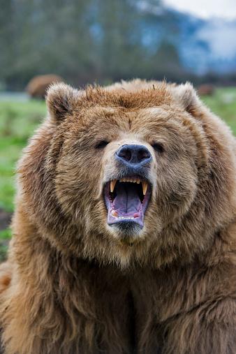Roaring「Growling grizzly bear」:スマホ壁紙(4)