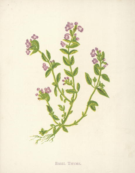 Botany「Basil Thyme」:写真・画像(15)[壁紙.com]