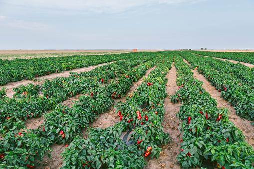 Red Bell Pepper「Serbia, field, red bell peppers」:スマホ壁紙(8)