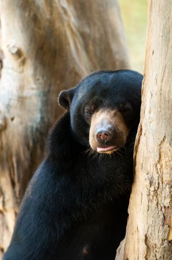 Kota Kinabalu「Sun bear (Helarctos malayanus) at Lok Kawi Wildlife Park.」:スマホ壁紙(19)