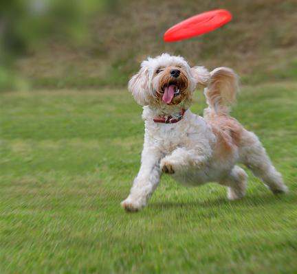 Catching「Dog catching frisbee」:スマホ壁紙(5)
