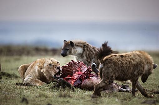 建築「Lioness protecting her food from hyena.」:スマホ壁紙(10)