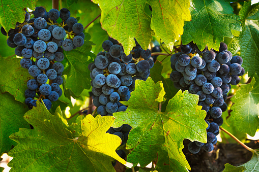 Vine - Plant「Grapes growing in Napa Valley」:スマホ壁紙(14)