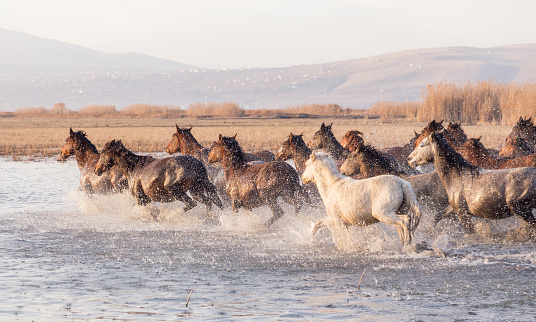 Stallion「Wild Horses running in water」:スマホ壁紙(16)