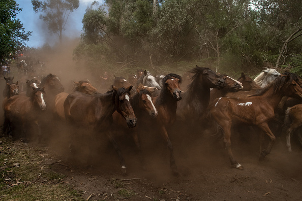 Horse「Rapa Das Bestas in Pontevedra」:写真・画像(2)[壁紙.com]