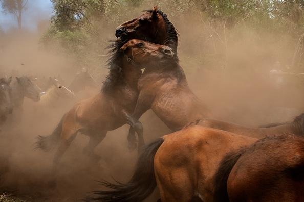 Horse「Rapa Das Bestas in Pontevedra」:写真・画像(6)[壁紙.com]