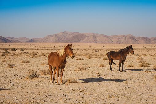 Horse「wild horses of Namibia」:スマホ壁紙(6)