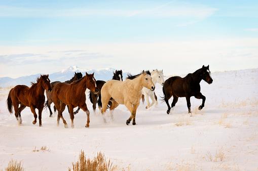 Horse「Wild Horses Running In Winter Range」:スマホ壁紙(5)