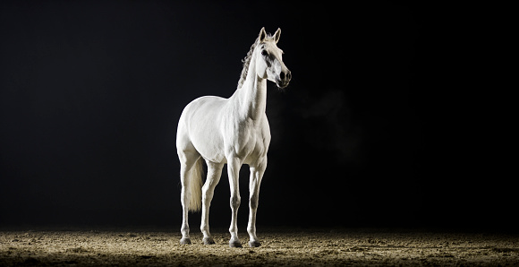 Racehorse「White horse standing in riding hall」:スマホ壁紙(8)