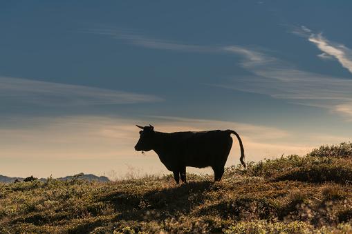 Greenland「Single Cow Grazing, Narsaq, South Greenland」:スマホ壁紙(9)
