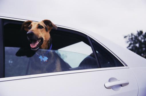 Making A Face「Dog sticking head out car window」:スマホ壁紙(4)