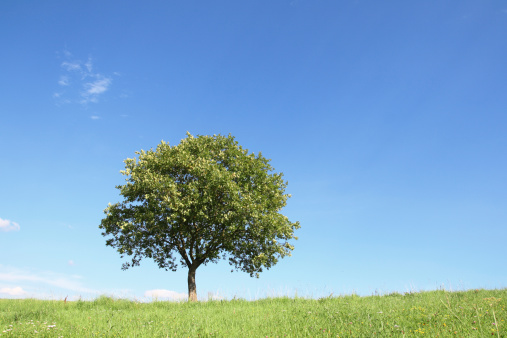Oak Tree「Single oak tree on meadow in summer」:スマホ壁紙(2)