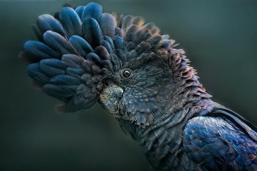 Endangered Species「Red Tailed Black Cockatoo (Calyptorhynchus banksii)」:スマホ壁紙(19)