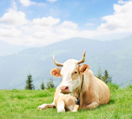 Horned「cow on meadow」:スマホ壁紙(8)