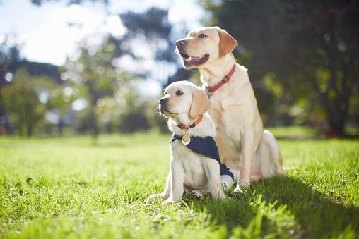 Sideways Glance「Two guide dogs at dog training」:スマホ壁紙(13)