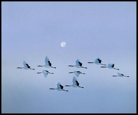 Hokkaido「Red crested Japanese cranes flying.」:スマホ壁紙(1)
