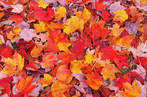 かえでの葉「Maple (Acer sp.) leaves on ground, elevated view in autumn. White Mountains, White Mountain National Forest, New Hampshire, New England, USA, America.」:スマホ壁紙(12)
