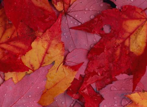 かえでの葉「Maple leaves in autumn」:スマホ壁紙(16)