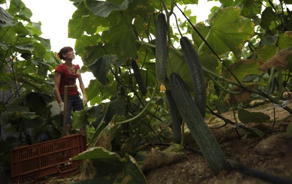 Greenhouse「Spanish Cucumbers Suspected In EHEC Outbreak」:写真・画像(8)[壁紙.com]