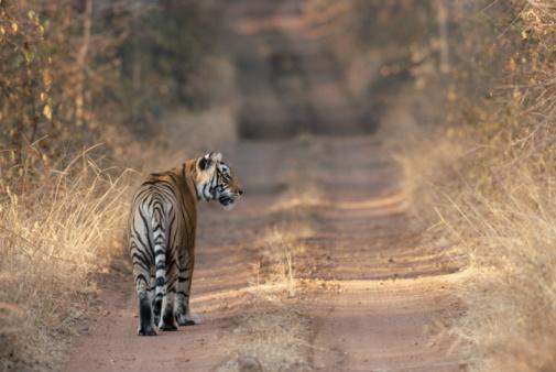 Tiger「Bengal tigress on forest track」:スマホ壁紙(10)