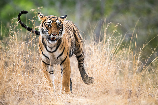 Tiger「Bengal tigress」:スマホ壁紙(17)