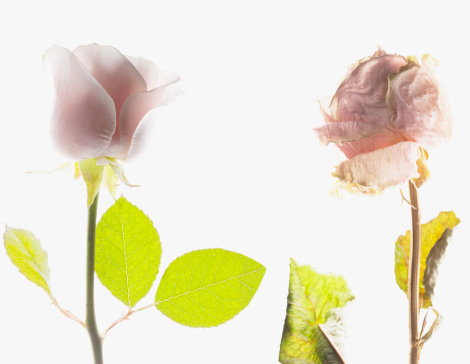 Side By Side「Contrast of blooming pink rose and dying pink rose」:スマホ壁紙(13)