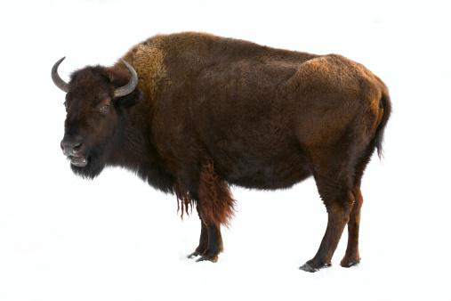 Mammal「bison isolated」:スマホ壁紙(17)