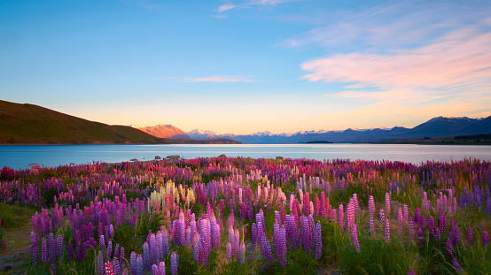 South Island New Zealand「Lupins Of Lake Tekapo」:スマホ壁紙(1)