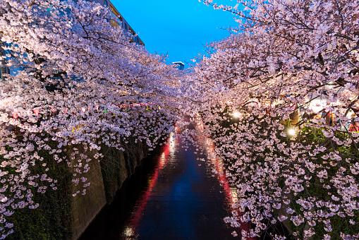 花見「Illuminated Cherry blossoms trees at Meguro River.」:スマホ壁紙(15)