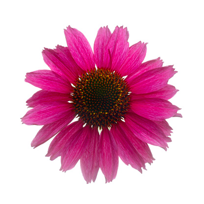 Square Shape「Echinacea 'Sunseekers in Tanz Magenta' in white square.」:スマホ壁紙(4)