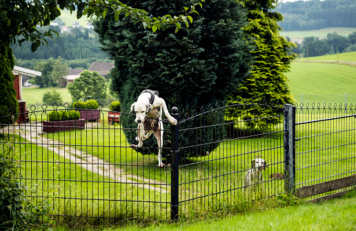 Guard Dog「Dog climbing over fence」:スマホ壁紙(14)