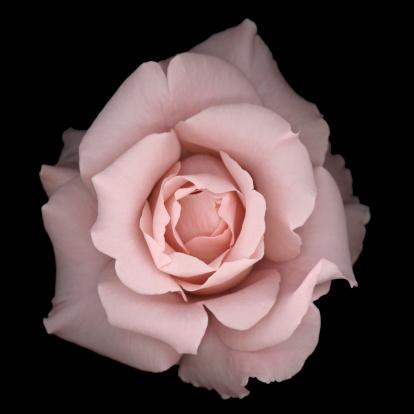 Pastel「Light pink rose on a black background」:スマホ壁紙(10)
