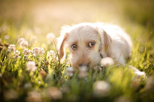 Mixed-Breed Dog「puppy looking sideway」:スマホ壁紙(18)