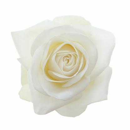 Single Flower「Close-up of entire  fragrant white rose on white.」:スマホ壁紙(5)