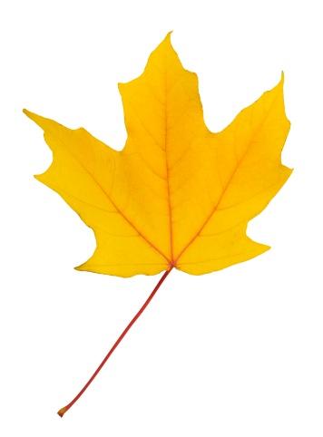 かえでの葉「Closeup of an autumn leaf」:スマホ壁紙(3)