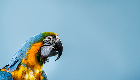 Animal Eye「Close-up of Gold and Blue Macaw in studio」:スマホ壁紙(0)