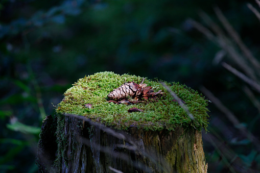 Pine Cone「Close-up of pine cone on tree stump in forest at Bavaria, Germany」:スマホ壁紙(13)