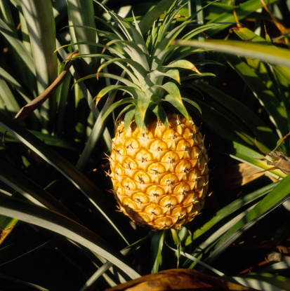 Queensland「Close-up of ripening pineapple, Beerwah, QLD」:スマホ壁紙(14)