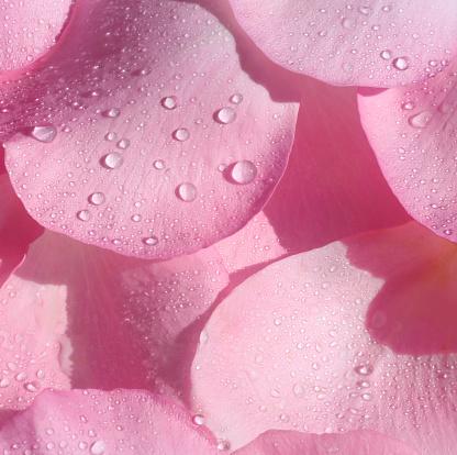Drop「Close-up of pink rose petals with water drops.」:スマホ壁紙(8)