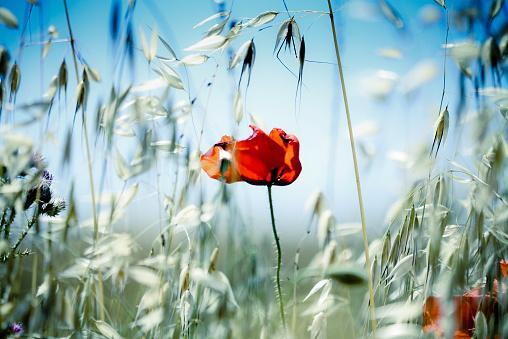 田畑「Close-up of poppy in meadow」:スマホ壁紙(5)