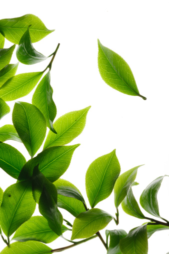 Green Tea「Close-up of tea leaves」:スマホ壁紙(6)