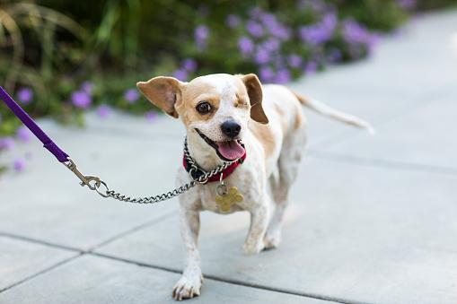 Animal Eye「Close-up of a happy Beagle - The Amanda Collection」:スマホ壁紙(14)