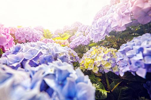 Hydrangea「Close-up of flowers」:スマホ壁紙(17)