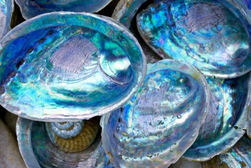 Kiwi「Close-up of some Paula shells also called Abalone」:スマホ壁紙(15)
