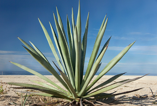 Mexico「Close-up of an agave plant in the desert」:スマホ壁紙(10)