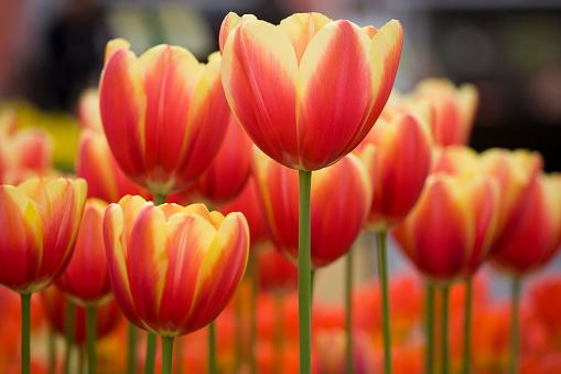 Keukenhof Gardens「Close-Up of flower bed with variegated red Tulips in Garden」:スマホ壁紙(4)