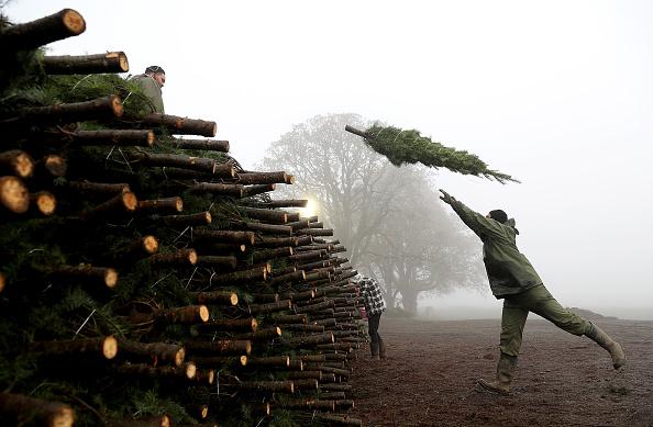 Holiday - Event「Oregon Christmas Tree Farm Harvests Trees For Upcoming Holiday Season」:写真・画像(19)[壁紙.com]