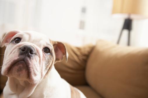 Puppy「Dog on sofa」:スマホ壁紙(16)