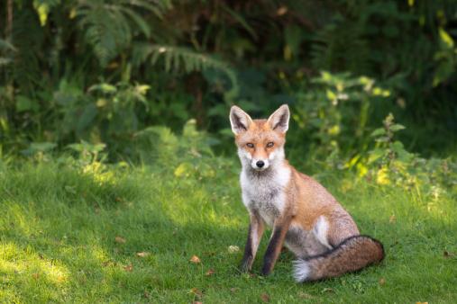 Intelligence「Red fox at edge of forest」:スマホ壁紙(19)