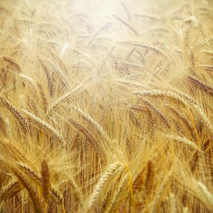 Barley「Barley field, Hordeum vulgare, close up」:スマホ壁紙(4)